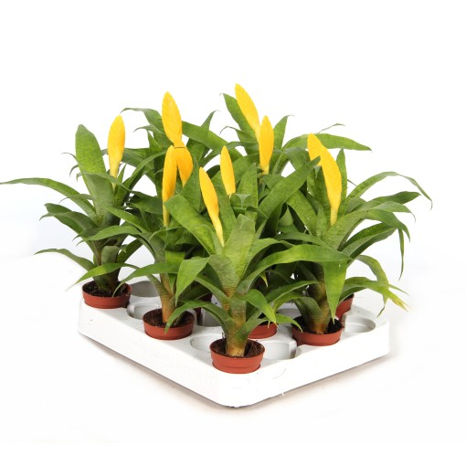 Vriesea ospinae (Ammerlaan, The Green Innovater)
