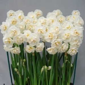 Narcissus 'Bridal Crown' (J.H van der Vossen B.V.)