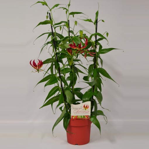Gloriosa rothschildiana (Glorious Gloriosa)