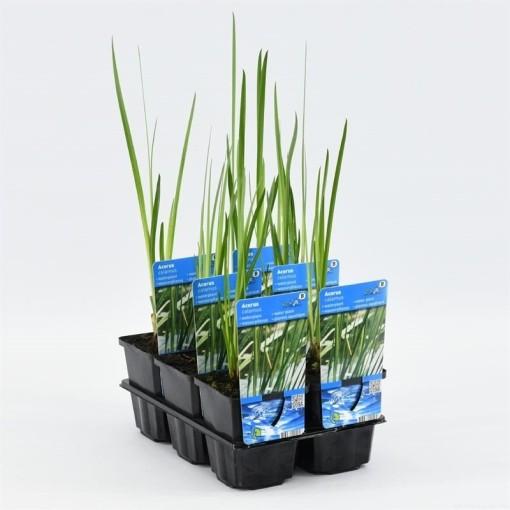 Acorus calamus (Moerings Waterplanten)