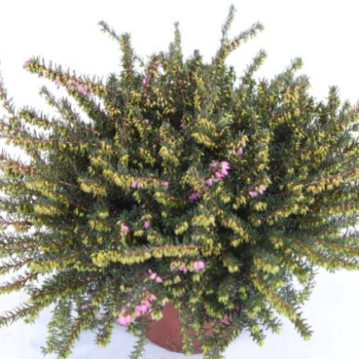 Erica x darleyensis 'Kramer's Rote' (Experts in Green)