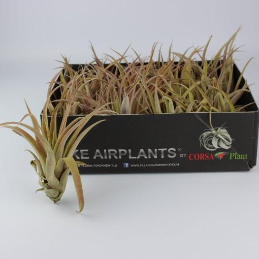 Tillandsia capitata (Corsa plant)