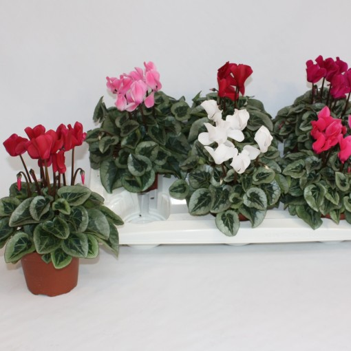Cyclamen persicum SUPER SERIE REMBRANDT MIX (Van Dijk Potplanten)
