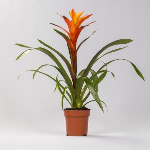 Guzmania 'Variada' (Stofbergen, Plantcompany)