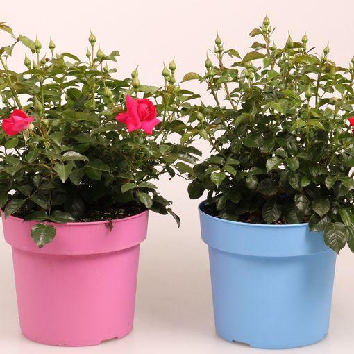 Rosa MIX (FlorAmor)