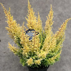 Erica sparsa 'Armely Lemon'