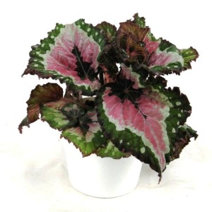 Begonia 'Merry Christmas'