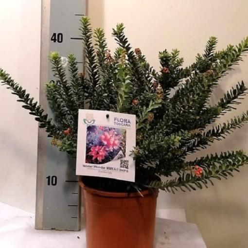 Grevillea lanigera 'Winter Wonder' (Flora Toscana)