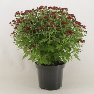 Chrysanthemum 'Jasoda Red'