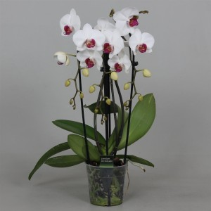 Phalaenopsis 'Red Lips'