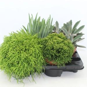 Houseplants MIX (Joy Plant)