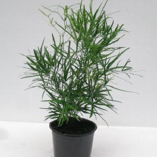 Asparagus falcatus (Gasa DK)