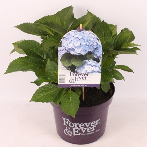 Hydrangea macrophylla FOREVER & EVER BLUE (van der Velden, Hkw.)