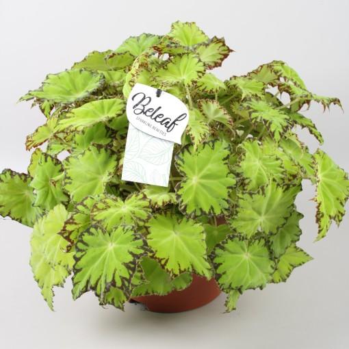 Begonia BELEAF LIMA LOVE (Berghoef Plants)