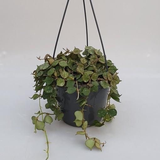 Hoya curtisii (van der Velden, Hkw.)
