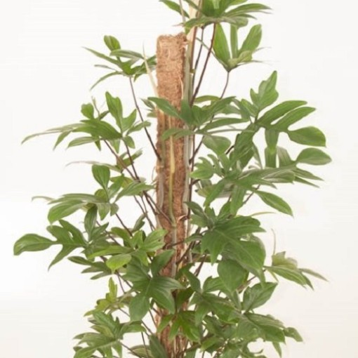 Philodendron pedatum (Ammerlaan, The Green Innovater)