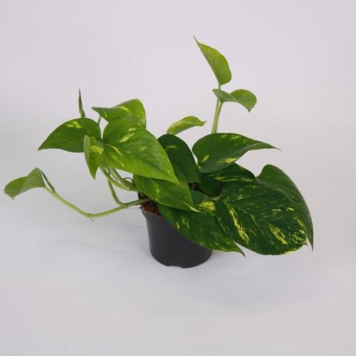 Epipremnum aureum (Kap Scindapsus)