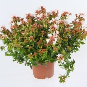 Abelia x grandiflora LADY SUMMERDREAM