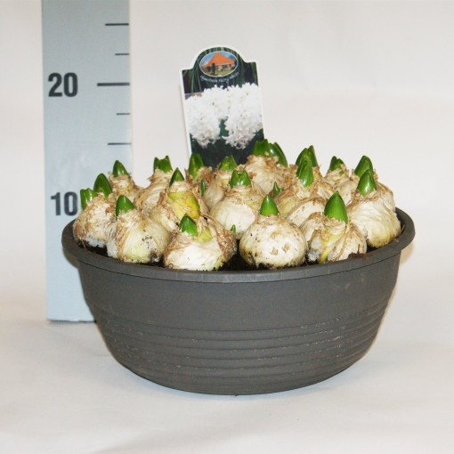 Hyacinthus orientalis FAIRY WHITE (Kwekerij MJ Komen)