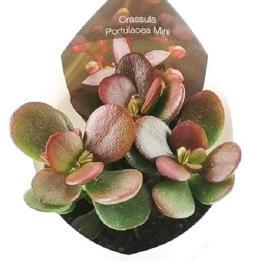 Crassula portulacea (Giromagi)