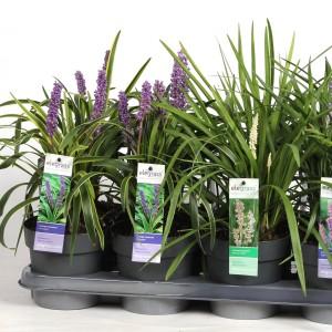 Liriope MIX (Hoogeveen Plants)