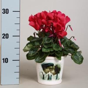 Cyclamen SUPER SERIE MACRO PASTEL MIX (Adrichem Potplanten)