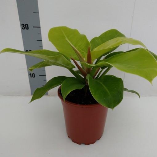 Philodendron 'Yellow Princess' (RuBa Baers)