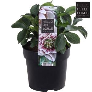 Helleborus orientalis 'Hello White'
