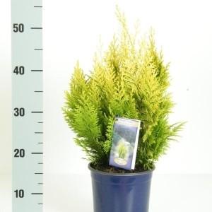 Chamaecyparis lawsoniana 'Ivonne' (Kwekerij Vredebest)