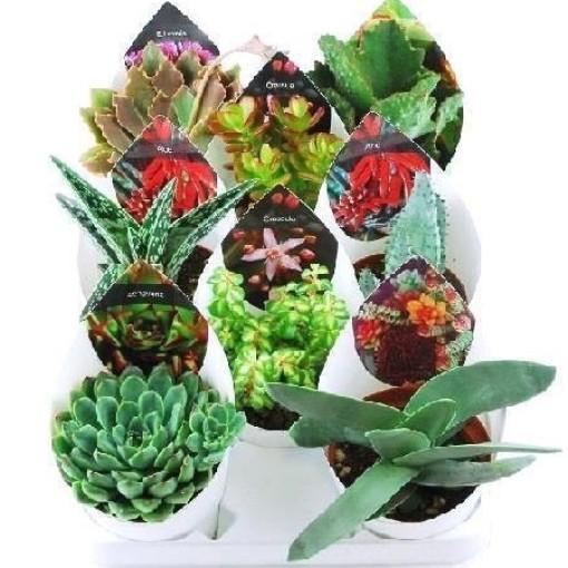 Succulents MIX (Giromagi)