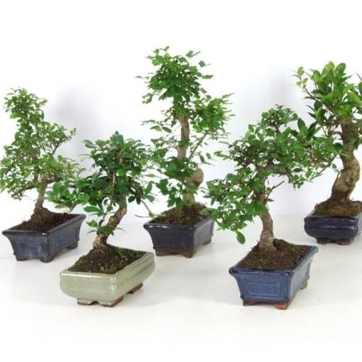 Bonsai MIX (Handelskwekerij van der Velden)