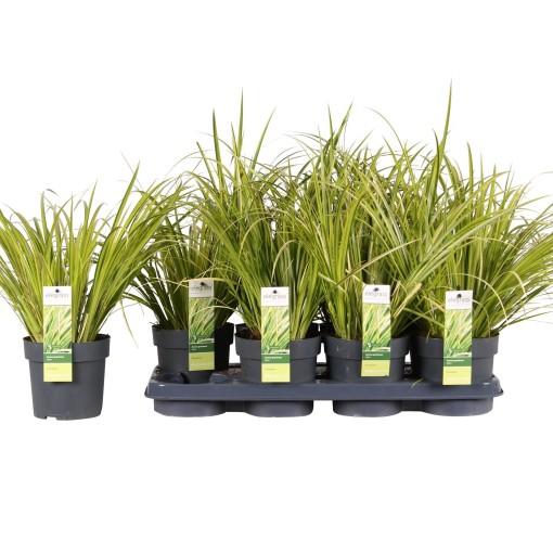 Acorus gramineus 'Ogon' (Hoogeveen Plants)