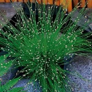 Isolepis cernua (Moerings Waterplanten)
