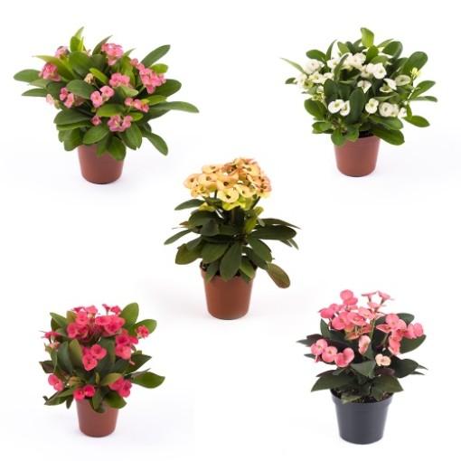 Euphorbia MILII MIX (Gasa DK)