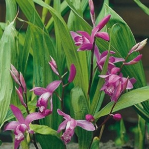 Bletilla striata (Moerings Waterplanten)