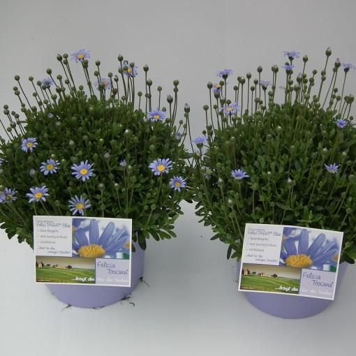 Felicia amelloides FELICITARA BLUE (Experts in Green)