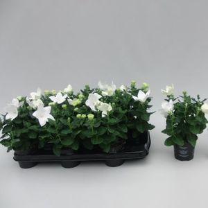 Platycodon grandiflorus 'Astra White' (Sonneveld Plants)