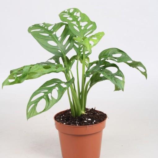 Monstera obliqua (Vireõ Plant Sales)
