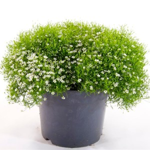 Gypsophila muralis GYPSY WHITE (Experts in Green)