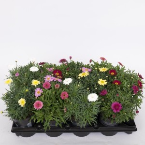 Argyranthemum frutescens DAISY CRAZY SOLE MIO