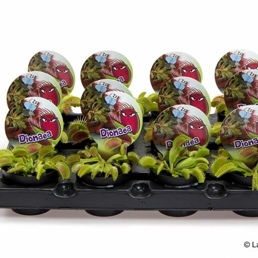 Dionaea muscipula (Gasa DK)