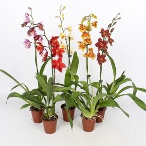 x Cambria MIX (Lansbergen Orchideeën)