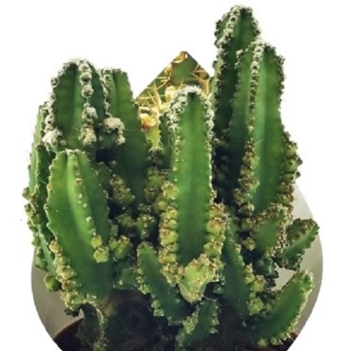 Cereus peruvianus 'Paolina' (Giromagi)