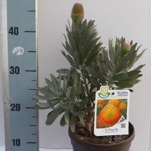 Leucospermum reflexum 'So Exquisite' (Flora Toscana)