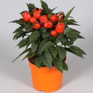 Capsicum annuum SAMBA MIX (Adrichem Potplanten)