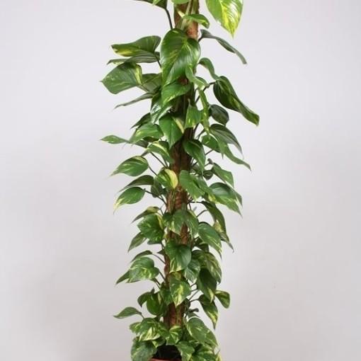 Epipremnum aureum (Fachjan)