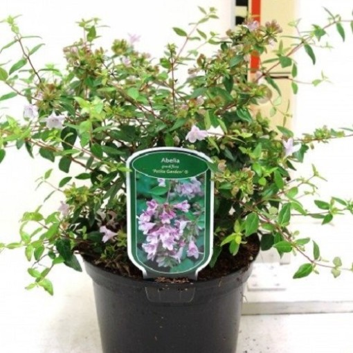 Abelia x grandiflora PETITE GARDEN (CPB Sales)