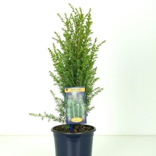 Juniperus communis 'Arnold' (Kwekerij Vredebest)