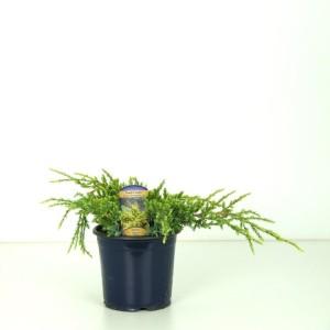 Juniperus squamata 'Holger' (Kwekerij Vredebest)