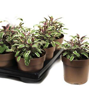 Salvia officinalis 'Tricolor'